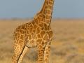 giraffe_5dmk3_06652