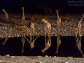 giraffe_5dmk3_06836