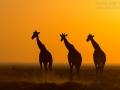 giraffe_5dmk3_06888