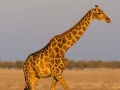 giraffe_5dmk3_06894