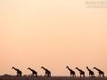 giraffe_5dmk3_06902