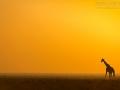 giraffe_5dmk3_06909
