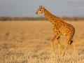 giraffe_5dmk3_06921