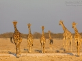 giraffe_5dmk3_06943