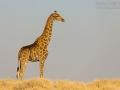giraffe_5dmk3_07146