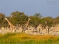giraffe_5dmk3_07667