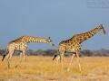 giraffe_5dmk3_08606