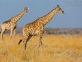 giraffe_5dmk3_08635