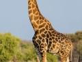 giraffe_5dmk3_08673