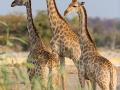 giraffe_5dmk3_09198