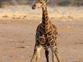 giraffe_5dmk3_09208