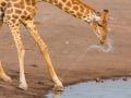 giraffe_5dmk3_09236