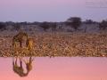 giraffe_5dmk3_10802
