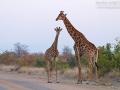 giraffe_7d_24726204