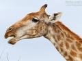 giraffe_7d_26323