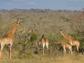 giraffe_7d_27106208