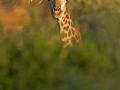 giraffe_mk4_39724