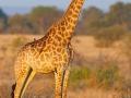 giraffe_mk4_42471