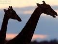 giraffe_mk4_45052