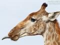 giraffe_mk4_45530