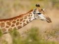 giraffe_mk4_45551