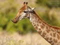 giraffe_mk4_45616