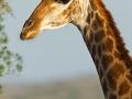 giraffe_mk4_51333