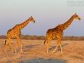 giraffe_mk4_94088