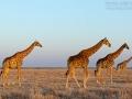 giraffe_mk4_94097