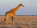 giraffe_mk4_94102