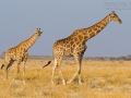 giraffe_mk4_95409
