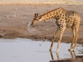 giraffe_mk4_95752