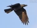 Glanzkrähe, Indian House Crow, House Crow, Corvus splendens, Corbeau familier, Corneja India