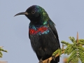 Glanznektarvogel, Shining Sunbird, Nectarinia habessinica