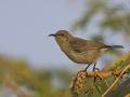 glanznektarvogeGlanznektarvogel, Shining Sunbird, Nectarinia habessinical_mk3_43275_web