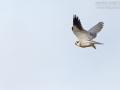 Gleitaar, Black-shouldered Kite, Black-winged Kite, Elanus caeruleus, Élanion blanc, Elanio Común