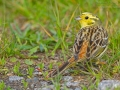 Goldammer, Yellowhammer, Emberiza citrinella