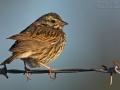 Grasammer, Savannah Sparrow, Passerculus sandwichensis, Bruant des prés, Chingolo Sabanero