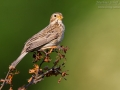 Grauammer, Corn Bunting, Miliaria calandra