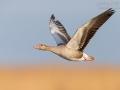 Graugans, Greylag Goose, Anser anser