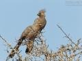 Graulärmvogel, Go-away Bird, Grey Go-away-bird, Corythaixoides concolor