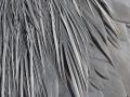 Graureiher, Grey Heron, Gray Heron, Ardea cinerea, Héron cendré, Garza Real