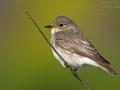 Grauschnäpper, Spotted Flycatcher, Muscicapa striata, Gobemouche gris, Gobe-mouche gris, Papamoscas Gris