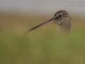 Großer Brachvogel, Brachvogel, Eurasian Curlew, Curlew, Western Curlew, Numenius arquata, Courlis cendré, Zarapito Real