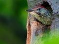 Grünspecht, Eurasian Green Woodpecker, Picus viridis