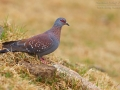 Guineataube, Speckled Pigeon, Columba guinea