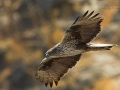 Habichtsadler, Bonelli's Eagle, Hieraaetus fasciatus, Aigle de Bonelli, Águila-azor Perdicera