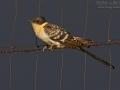 Häherkuckuck, Great Spotted Cuckoo, Clamator glandarius, Cuculus glandarius, Coucou geai, Críalo Europeo, Críalo Español