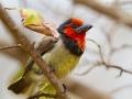 Halsband-Bartvogel, Black-collared Barbet, Lybius torquatus