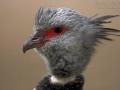 Halsband-Wehrvogel, Crested Screamer, Southern Screamer, Chauna torquata